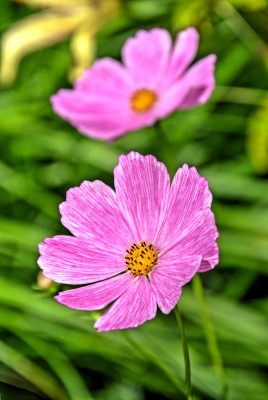 http://www.dreamstime.com/stock-images-pink-cosmos-flowers-blurry-green-background-mexican-aster-bipinnnatus-close-up-taken-image43692884